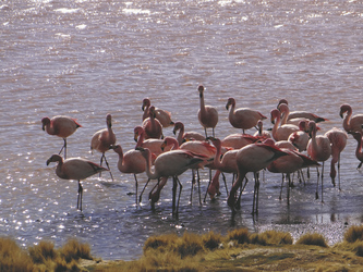 Flamingos in der Laguna Colorado