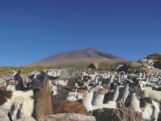 Lama-Herde im Altiplano