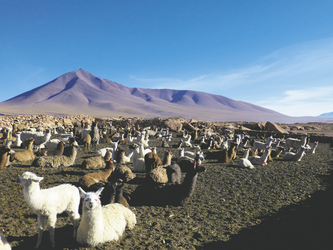 Lamas im Altiplano von Bolivien