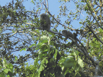 Affe, Kaa-Iya Nationalpark