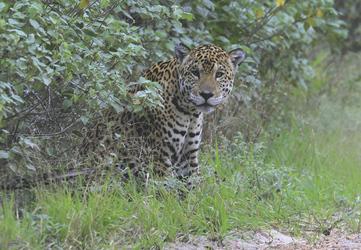Jaguarsichtung im Kaa-Iya Nationalpark