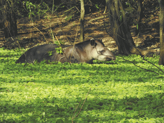 Tapir, Kaa-Iyla Nationalpark