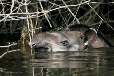 Tapir im Wasser, ©Cristalino Jungle Lodge