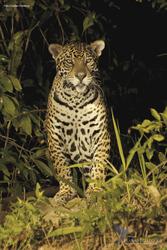 Jaguar im Pantanal