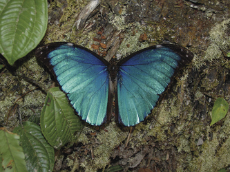 Blauer Morpho-Falter, ©Cristalino Jungle Lodge