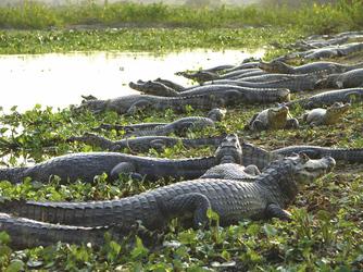 Krokodile am Ufer
