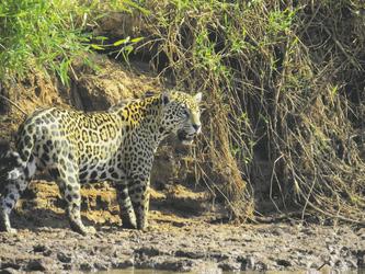 Jaguarsichtung