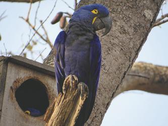 Hyazinthara im Pantanal