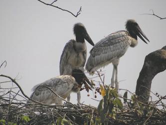 Jabiru-Küken im Pantanal