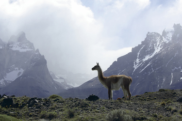 Guanaco im Nationalpark Torres del Paine, ©Anja Hofer