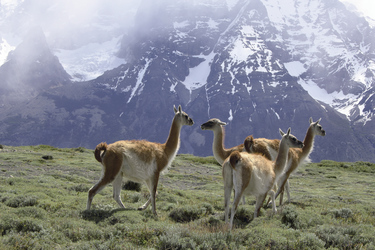 Guanacos im Nationalpark Torres del Paine, ©Anja Hofer