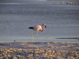 Flamingo im Salar de Atacama