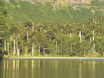 Araucarienwald