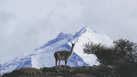 Guanaco im Nationalpark Torres del Paine
