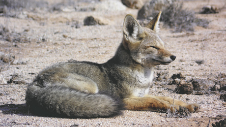 Fuchs im Nationalpark Pan de Azucar
