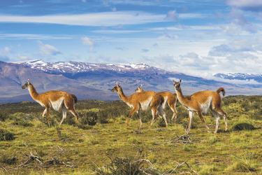 Guanaco-Herde Patagonien
