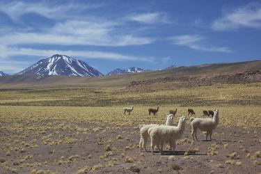 Lamas im Altiplano, ©Australia Plus