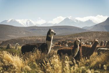 Lamas im Altiplano