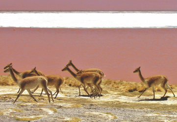 Vicunas an der Laguna Colorada