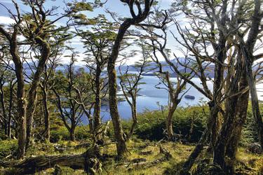 Patagonischer Wald in der Wulaia Bucht