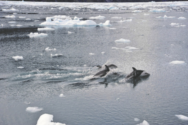 Delfine begleiten das Schiff