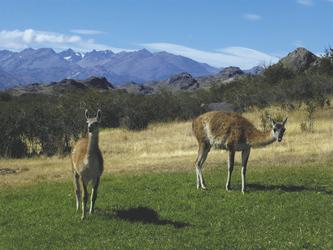 Guanacos an der Carretera Austral