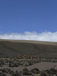 Guanacos im Altiplano