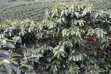 Kaffeeplantage bei Armenia