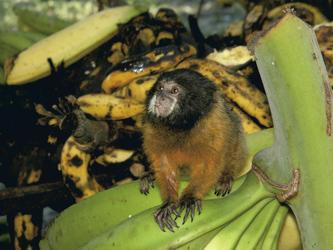 Affe im Regenwald von Ecuador, ©Madina von Stillfried