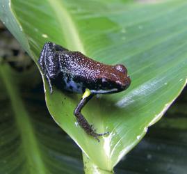 Frosch im Amazonasregenwald, ©Haugan Cruises