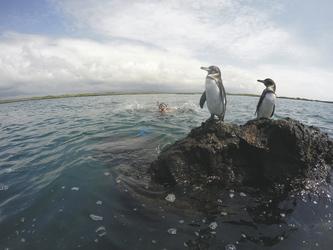 Pinguine auf Isabela