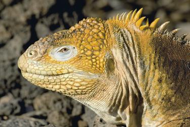 Iguana auf Galapagos