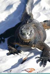 Leguan am Strand von Santa Cruz, Galapagos