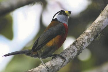 Tukanbartvogel