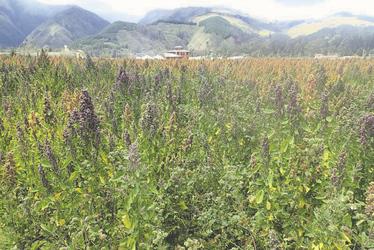 Quinoa Feld