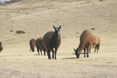 Lamas im Hochland