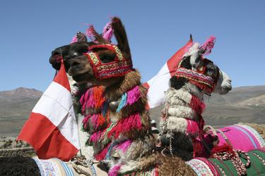 Festlich geschmückte Alpacas