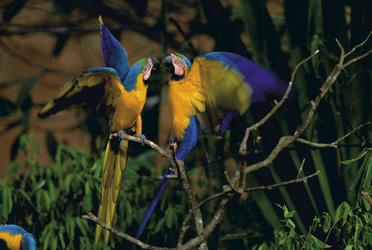 Aras - Tambopata Naturreservat
