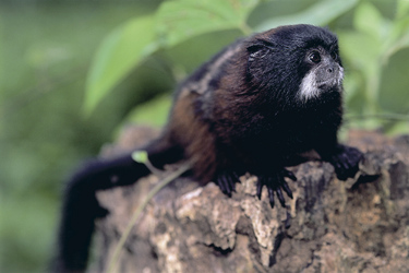 Affe - Tambopata Naturreservat