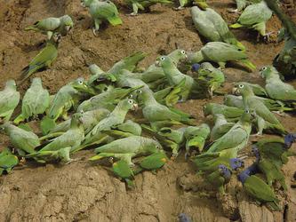 Lehmlecke - Tambopata Naturreservat