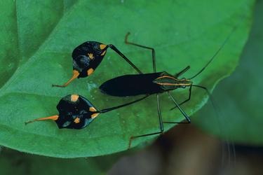 Insekt - Tambopata Naturreservat
