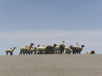 Lama-Herde im Hochland Perus