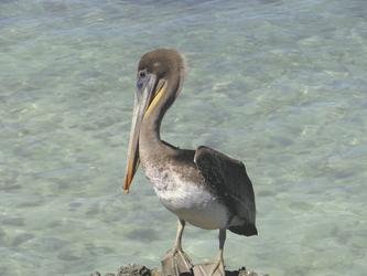 Pelikan am Eagle Beach