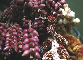 verschiedene Maissorten auf dem Markt