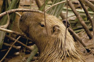 Capybara im Tambopata Naturreservat