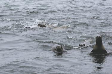 neugierige Seehunde