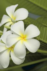 Pua oder Frangipani