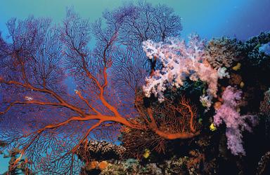 Korallen vor Yasawa Island