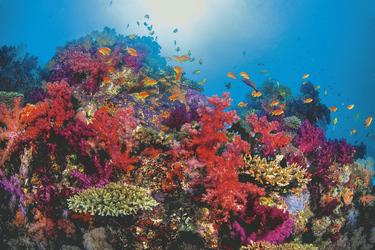 Soft Corals Taveuni