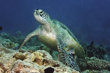 Schildkröte ©P. Laboute/NCTPS